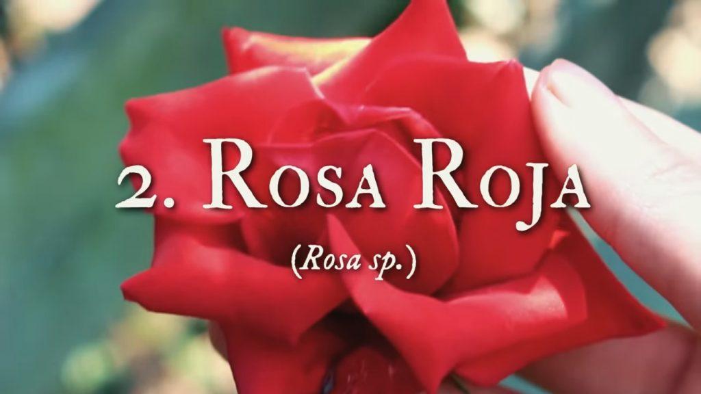 Rosas para el cuidado facial con plantas medicinales